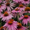 Vrtnarstvo Breskvar - Echinacea purpurea Magnus