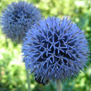 Vrtnarstvo Breskvar - Echinops ritro