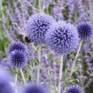 Vrtnarstvo Breskvar - Echinops ritro Veitch's Blue