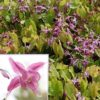 Vrtnarstvo Breskvar - Epimedium grandiflorum Rubinkrone