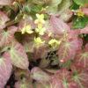 Vrtnarstvo Breskvar - Epimedium perralchicum Frohnleiten