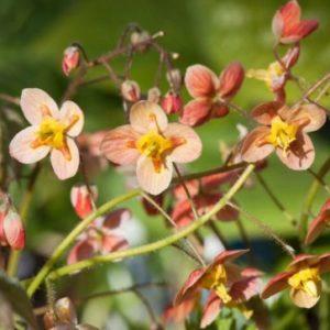Vrtnarstvo Breskvar - Epimedium warleyense Orangekonigin
