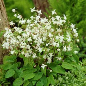 Vrtnarstvo Breskvar - Epimedium youngianum Niveum