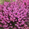 Vrtnarstvo Breskvar - Erica carnea