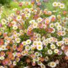 Vrtnarstvo Breskvar - Erigeron karvinskianus