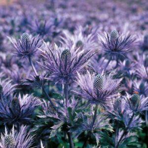 Vrtnarstvo Breskvar - Eryngium alpinum Blue Lace