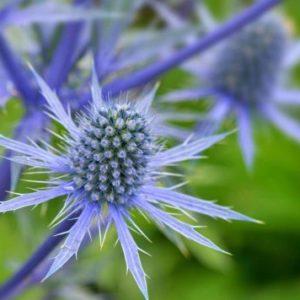 Vrtnarstvo Breskvar - Eryngium planum