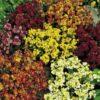 Vrtnarstvo Breskvar - Erysimum cheiri