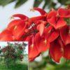 Vrtnarstvo Breskvar - Erythrina crista-galli