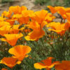 Vrtnarstvo Breskvar - Eschscholzia californica