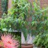 Vrtnarstvo Breskvar - Eucalyptus