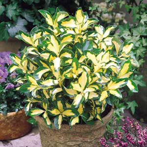 Vrtnarstvo Breskvar - Euonymus fortunei Blondy