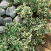Vrtnarstvo Breskvar - Euonymus fortunei Emerald Gaiety