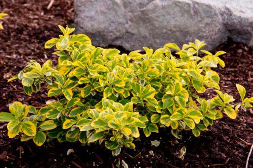 Vrtnarstvo Breskvar - Euonymus fortunei Emerald'n Gold