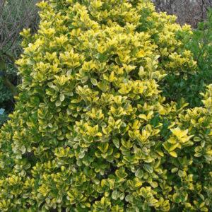 Vrtnarstvo Breskvar - Euonymus japonicus Aureus