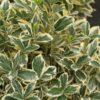 Vrtnarstvo Breskvar - Euonymus japonicus Bravo