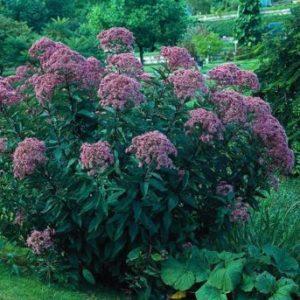 Vrtnarstvo Breskvar - Eupatorium fistulosum Atropurpureum