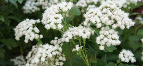 Vrtnarstvo Breskvar - Eupatorium rogosum Braunlaub