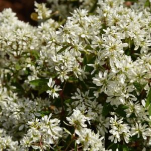 Vrtnarstvo Breskvar - Euphorbia Diamond Star