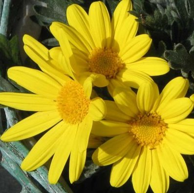 Vrtnarstvo Breskvar - Euryops Chrysanthemoides