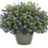 Vrtnarstvo Breskvar - Evolvulus Blue My Mind