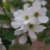 Vrtnarstvo Breskvar - Exochorda racemosa
