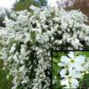 Vrtnarstvo Breskvar - Exochorda macrantha The Bride