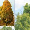 Vrtnarstvo Breskvar - Fagus Sylvatica Dawyck Gold