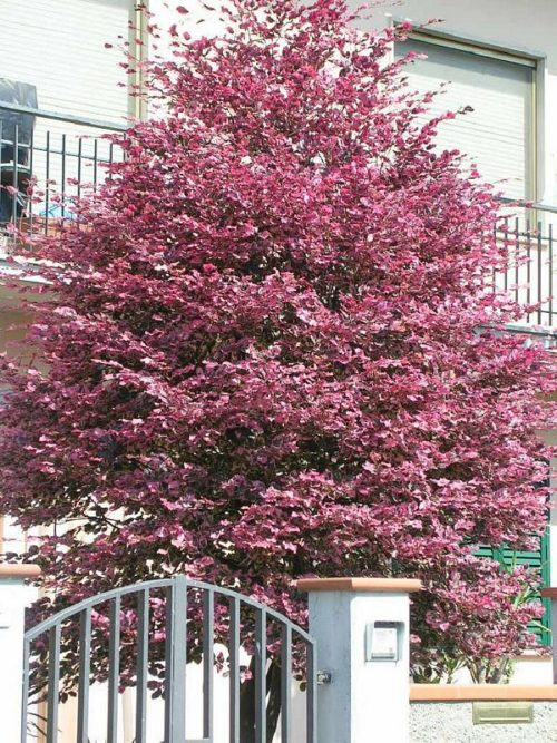 Vrtnarstvo Breskvar - Fagus Sylvatica Tricolor