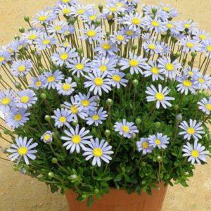 Vrtnarstvo Breskvar - Felicia amelloides