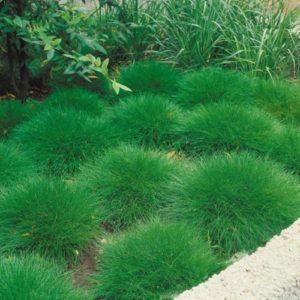 Vrtnarstvo Breskvar - Festuca gautieri