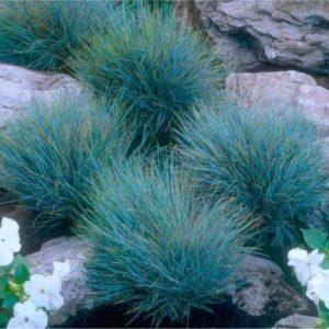 Vrtnarstvo Breskvar - Festuca glauca
