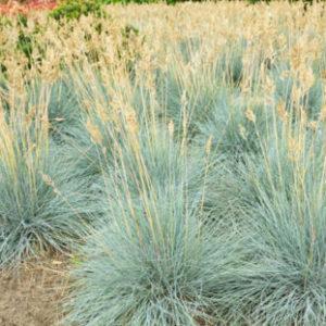Vrtnarstvo Breskvar - Festuca glauca Elijah Blue