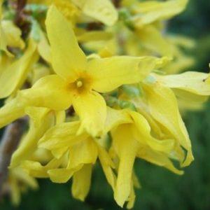 Vrtnarstvo Breskvar - Forsythia Golden Times