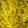 Vrtnarstvo Breskvar - Forsythia intermedia Week End