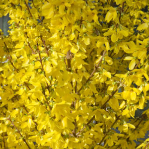 Vrtnarstvo Breskvar - Forsythia intermedia Week End