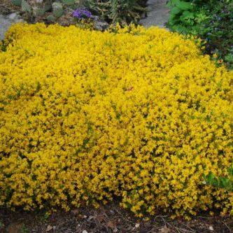 Vrtnarstvo Breskvar - Forsythia Maree Door