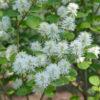 Vrtnarstvo Breskvar - Fothergilla gardenii