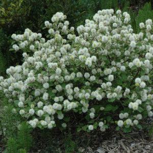 Vrtnarstvo Breskvar - Fothergilla major