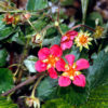 Vrtnarstvo Breskvar - Fragaria ananassa Pink Panda