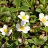 Vrtnarstvo Breskvar - Fragaria chiloense chaval