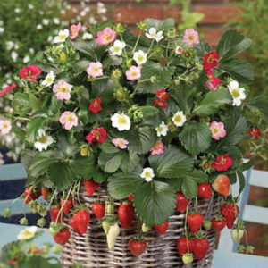 Vrtnarstvo Breskvar - Fragaria
