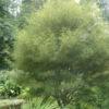 Vrtnarstvo Breskvar - Frangula alnus Asplenifolia