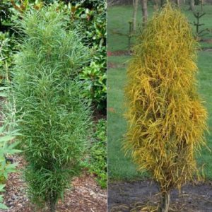 Vrtnarstvo Breskvar - Frangula alnus Fine Line