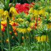 Vrtnarstvo Breskvar - Fritillaria imperialis Lutea Maxima