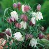 Vrtnarstvo Breskvar - Fritillaria meleagris