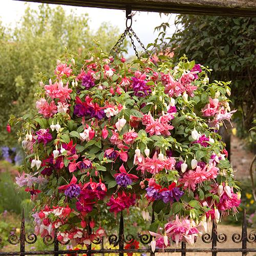 Vrtnarstvo Breskvar - Fuchsia