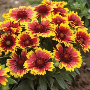 Vrtnarstvo Breskvar - Gaillardia aristata Arizona Sun