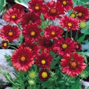 Vrtnarstvo Breskvar - Gaillardia grandiflora Burgunder