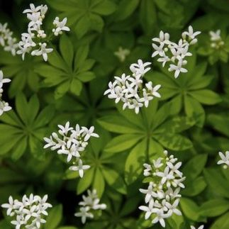 Vrtnarstvo Breskvar - Galium odoratum